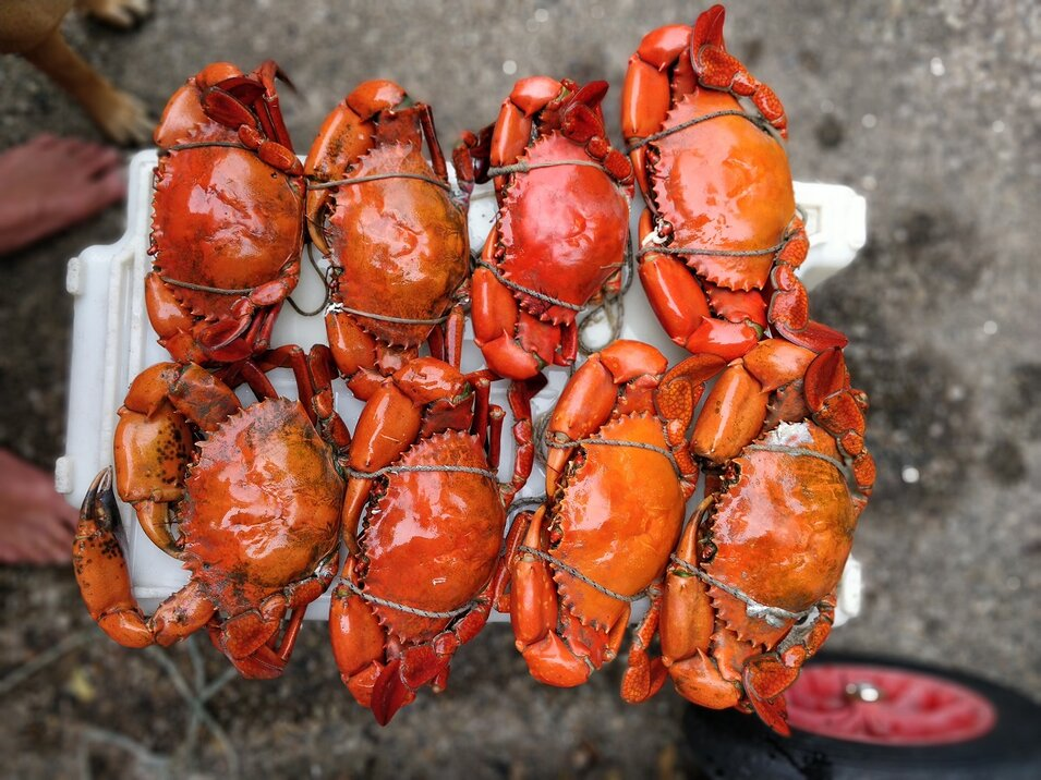Group of eight cooked orange colored mud crabs
