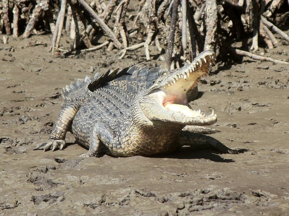 Large crocodile sun bathing at the Daintree River bank