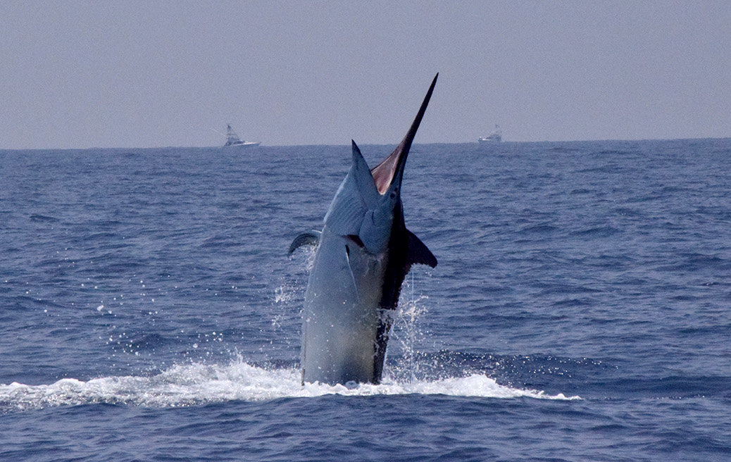 Beautiful large marlin leaping out of the water