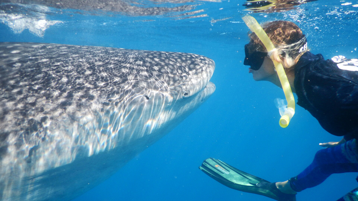 Snorkeler and whale shark facing each other